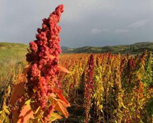 红藜麦的营养价值和功效