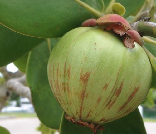 中国山竹产地是哪里?山竹产地哪里的好吃甜?3