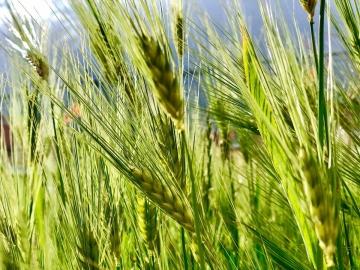 青稞是什么?青稞和小麦有什么区别?哪些人群不适合吃青稞? 1