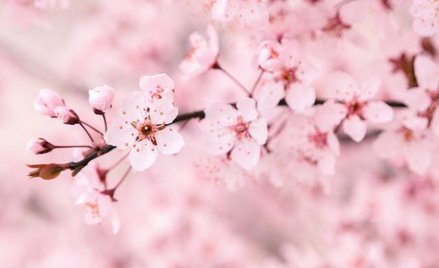 三月赏樱花,盘点樱花零食饮品,颜值高到出类拔萃1