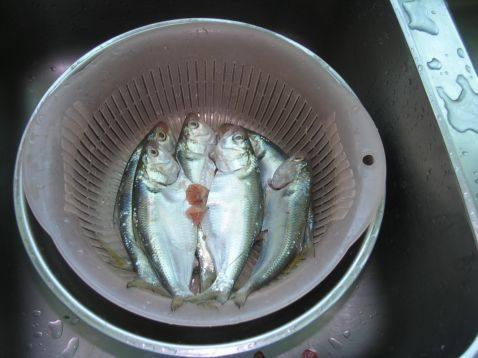 青花椒杉犁鱼1