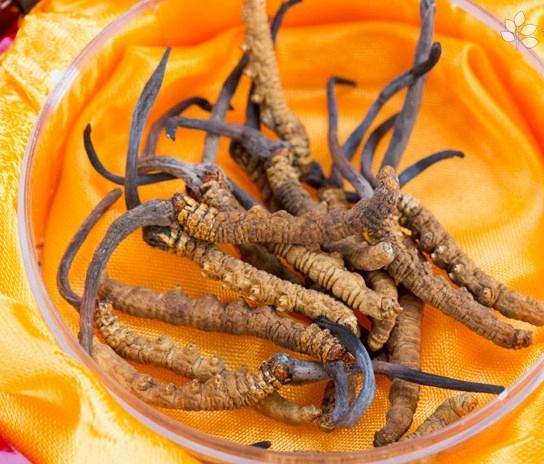 金蝉花的吃法-金蝉花的功效与作用