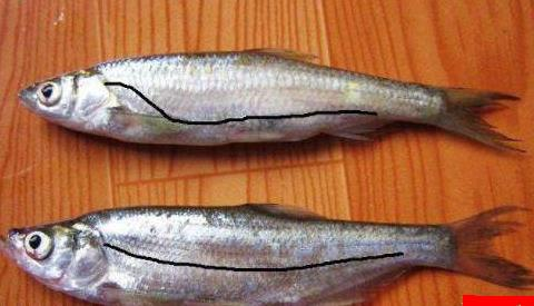 白条鱼和翘嘴鱼的区别